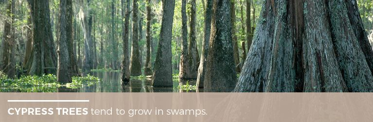 Cyptress Trees tend to Grow in Swamps